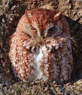 Larry Thompson ScreechOwl